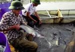 Quảng Trị: Hiệu quả như nuôi cá bằng lồng thuyền