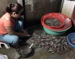 Cần xử lý hình sự đối với hành vi bơm chích tạp chất vào tôm