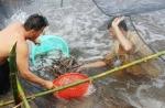 Nông dân Cà Mau lãi đậm nhờ nuôi tôm càng xanh