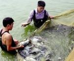 Thắng thế cá rô phi VietGAP