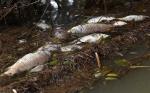 Cá chết bất thường trên sông ở Quảng Ngãi