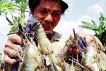 Hiệu quả nuôi tôm càng xanh toàn đực trên vùng đất chuyển đổi