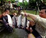 An Giang: Cá trúng mùa, trúng giá