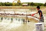 Quản lý hiệu quả tảo trong ao tôm