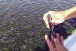 Quảng Ngãi: Nuôi cá bớp phát triển nhờ chủ động được giống