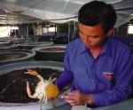 Sản xuất giống cua biển: Đẩy mạnh phổ biến công nghệ