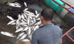 """Hà Tĩnh: Bèo và nước ngọt """"tấn công"""", cá nuôi lồng bè chết trắng bụng"""