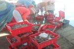 Khánh Hòa: Nguồn lợi thủy sản cạn kiệt bởi nạn đánh bắt bằng giã cào