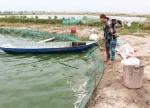 Long An: Cá tra giống chết hàng loạt do dịch bệnh