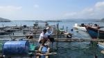 Lặn bắt sò láng 'quậy' đục nước vịnh Xuân Đài, gây hại tôm hùm nuôi