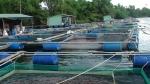 Tiền Giang: Tiềm năng nuôi thủy sản lồng bè trên sông Tiền