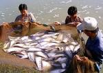 TP Hồ Chí Minh: Thu nhập ổn định từ cá thát lát cườm