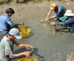 Cà Mau: Phát huy thế mạnh tôm sinh thái