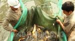 Hải Dương: Sản xuất cá giống gặp khó