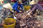 Người nuôi lao đao khi cá bổi U Minh liên tục giảm giá