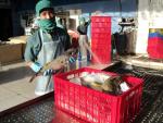 Doanh nghiệp phải bao tiêu cá nóc khai thác cho ngư dân
