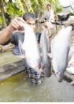 Xuất khẩu cá tra: nhiều cơ hội để khởi sắc!