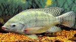Ảnh hưởng của trọng lượng cơ thể đến hiệu quả sử dụng lysine ở cá rô phi
