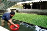 Mô hình nuôi ốc nhồi của HTX Thủy sản Bó Ban