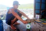Khánh Hòa: Tôm hùm nuôi bị chết khiến người dân lao đao lo bán tháo