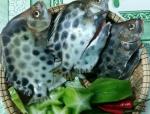Cá nâu mùa biển động