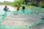 Nuôi cá trong ruộng mùa lũ ở ĐBSCL, vừa đỡ tốn công tốn của lại có tiền