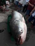 """Đồng Tháp: Lão nông bắt được cá """"khủng"""" nặng trên 200 kg"""