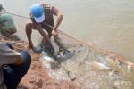 """Nuôi loài cá """"nhát chết"""", khó về con giống nhưng dễ bán giá cao"""