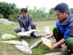 Yên Thành nuôi thành công mô hình cá chép và cá trắm giòn