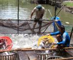 Định hướng nuôi cá tra phải có liên kết