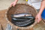 Bán cá lóc cận Tết, người nuôi phấn khởi vì lãi cao
