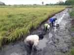 Xem dân bắt loài tôm to nuôi trong ruộng lúa, bán 150-250 ngàn/kg