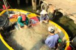 """Quảng Ngãi: Ngư dân trúng đậm """"lộc biển"""" đầu năm mới"""