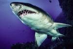 Phát hiện ổ cá mập khổng lồ
