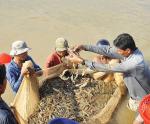 Quảng Ninh: Phấn đấu thành thủ phủ ngành tôm phía Bắc