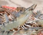 7 nhóm giải pháp để ngành tôm về đích thành công