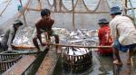 Không tăng diện tích nuôi cá tra vượt kiểm soát