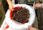Cần Thơ: Giá lươn tăng cao