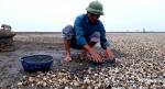 Thanh Hóa: Người dân điêu đứng vì ngao chết trắng đồng