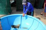 Phú Yên: Tôm hùm chết do môi trường vùng nuôi bị ô nhiễm