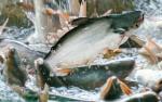 An Giang: Giá cá tra tăng nhẹ