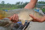 Kỹ thuật nuôi cá chép giòn