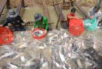 """Long An: Trả giá đắt vì """"vượt rào"""" nuôi cá tra"""