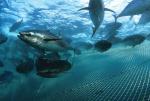 Mỹ: Nuôi cá ngừ giống bằng đậu tương