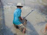 Giá cá lóc thương phẩm ổn định ở mức cao