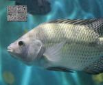 Phòng và điều trị bệnh liên cầu khuẩn ở cá rô phi