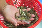 Phòng, trị bệnh trên cá giống