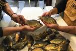 Phát hiện dòng cá chép mới từ phân tích dữ liệu di truyền phân tử