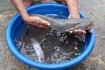 Quảng Trị: Thử nghiệm thành công nuôi cá leo ở Vĩnh Linh