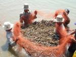 Hậu Giang: Nông dân xã Lương Nghĩa thu hoạch tôm sú